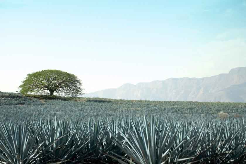 Blue agave plant to make tequila Mexico