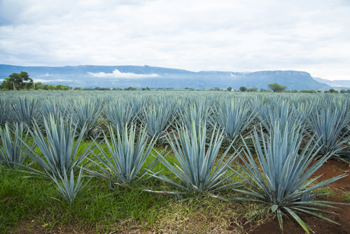 Tequila Tour with Pre-Hispanic & Mariachi Show